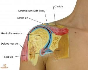 Shoulder Cross Section